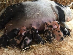Baby piglets born at Farmer Palmer's Poole Dorset