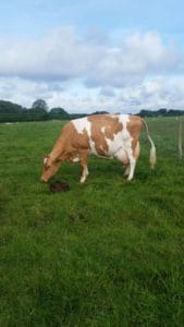 Farmer Palmers newborn calf
