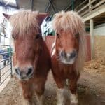 Two brown Shetland Ponies at Farmer Palmer's
